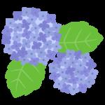 紫陽花(あじさい)の花のイラスト