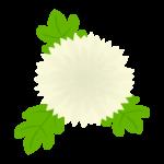 白い菊の花のイラスト