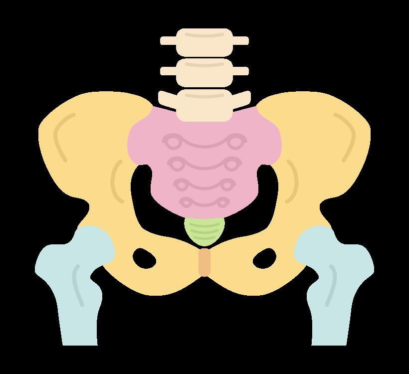 骨盤(カラー)のイラスト