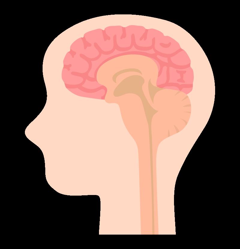 頭と脳のイラスト