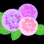 綺麗な三色の紫陽花のイラスト