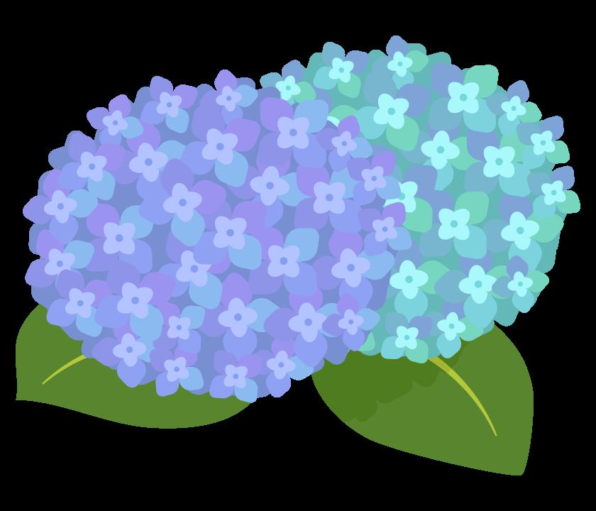 青と緑の紫陽花(あじさい)のイラスト