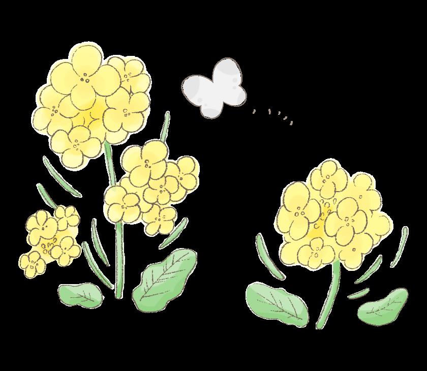 手書き風の菜の花と蝶々のイラスト