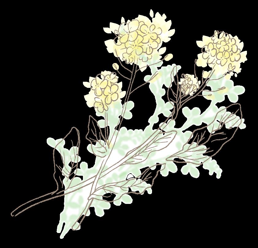 手書き風タッチの菜の花のイラスト