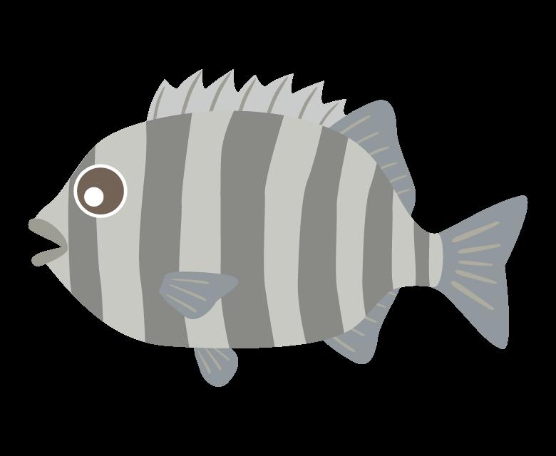 イシダイ(石鯛)のイラスト