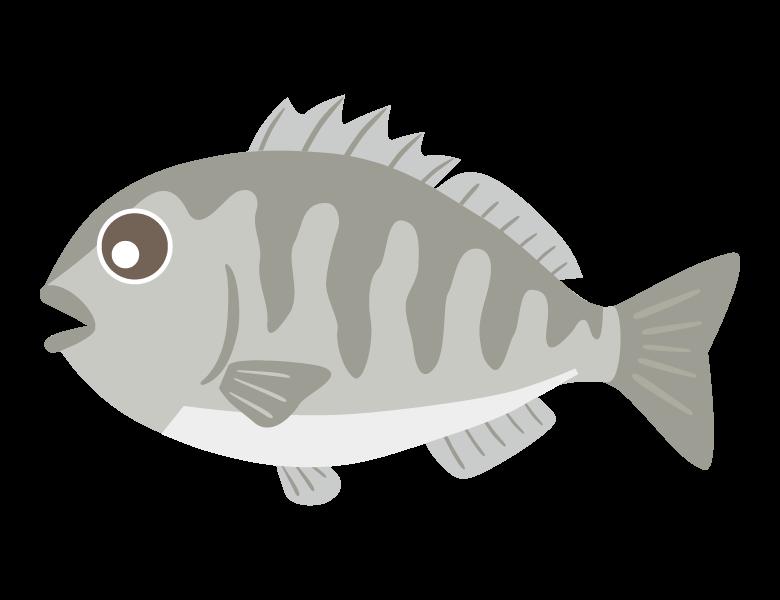 クロダイ(黒鯛)のイラスト